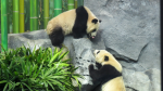 VIDEO - Bears In Black & White: 4 Panda's Make Calgary Zoo Debut